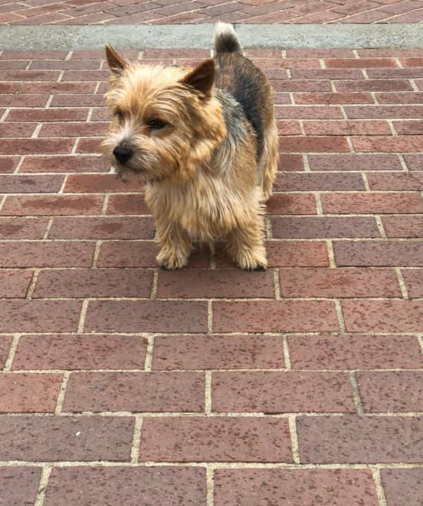 Yorkshire Terrier Standing On Brick Path