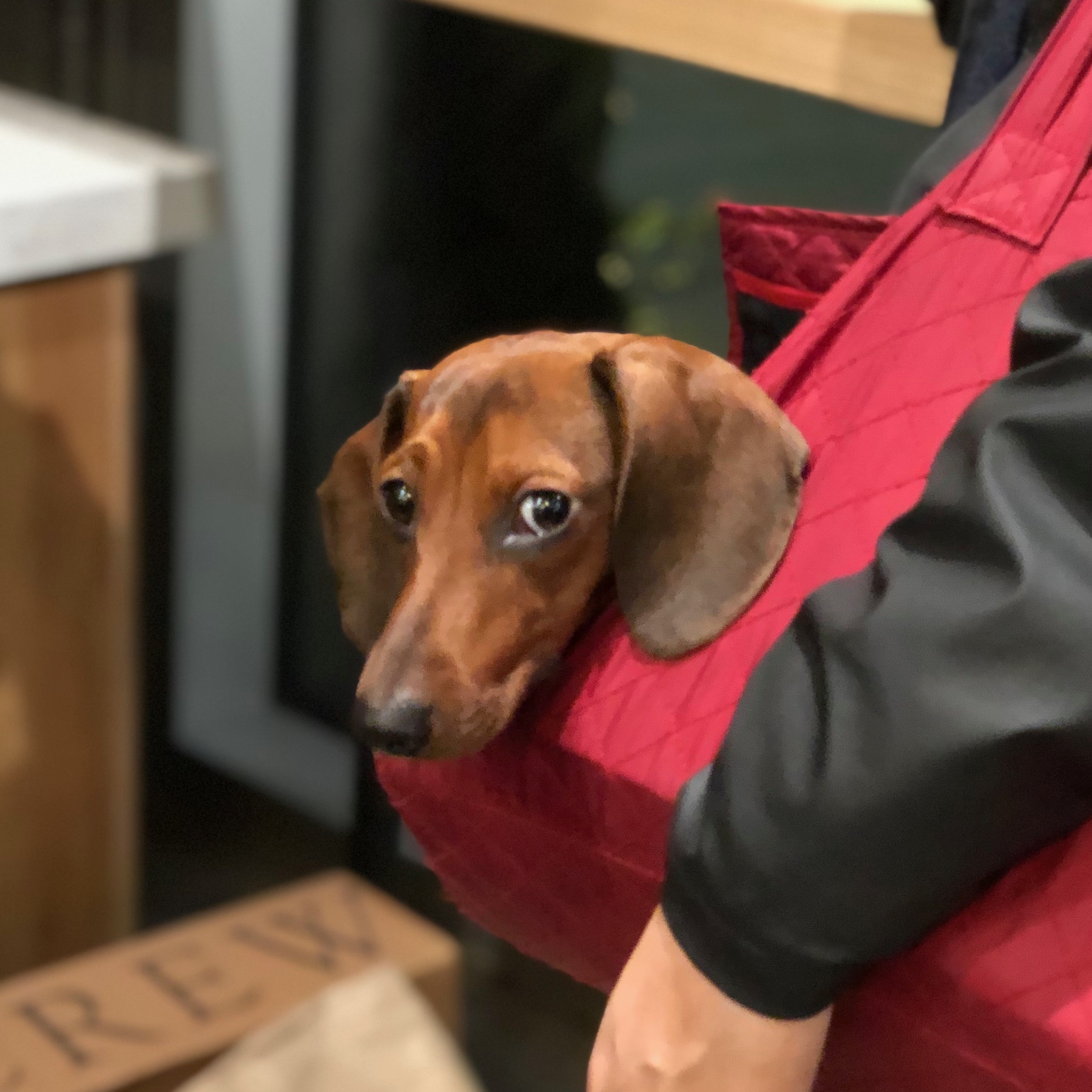 Dachshund In Shoulder Bag