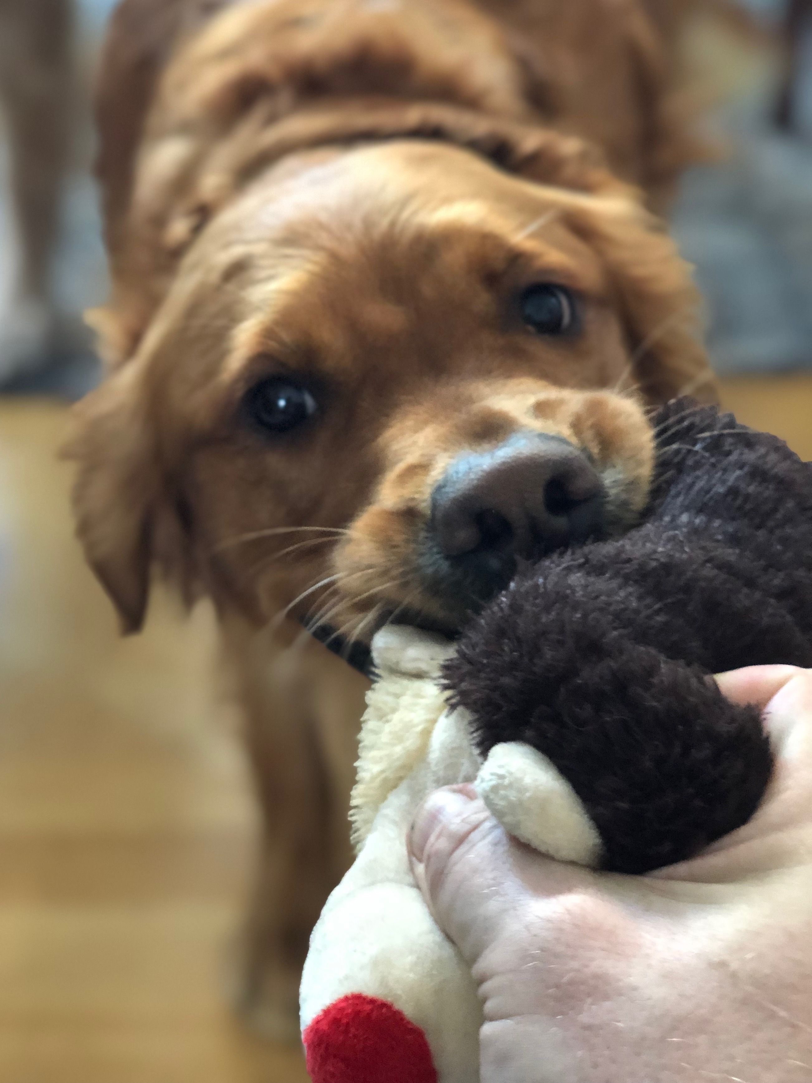 Golden Retriever Playing Tug Of War With Chew Toy