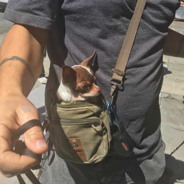 Tiny Chihuahua In Pouch