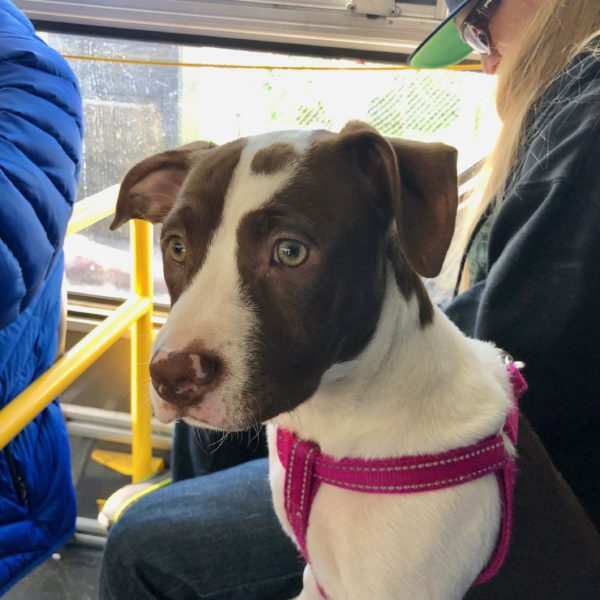 Red-Nose Pit Bull Terrier Puppy In A Bus