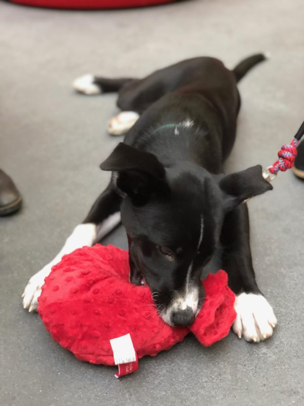 Black And White Husky Border Collie Mix Puppy With Red Squeaky Toy