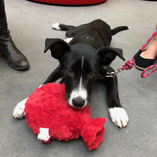 Black And White Husky Border Collie Mix Puppy With Red Squeaky Toy Looking Plaintive