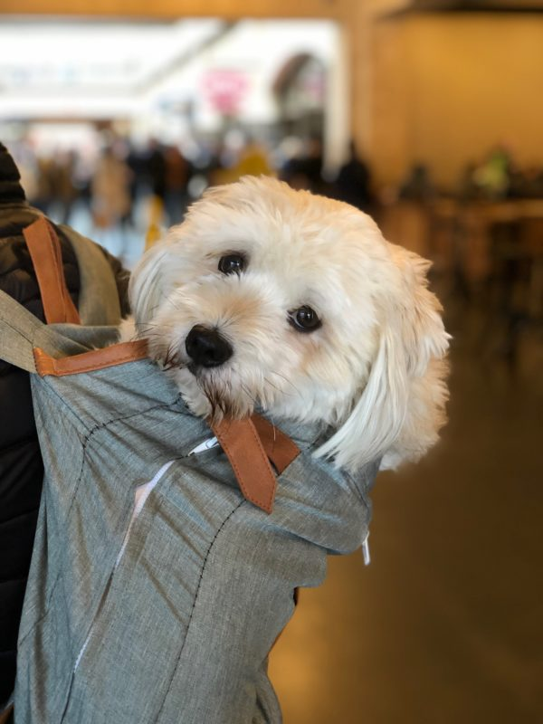 Cockapoo In A Backpack