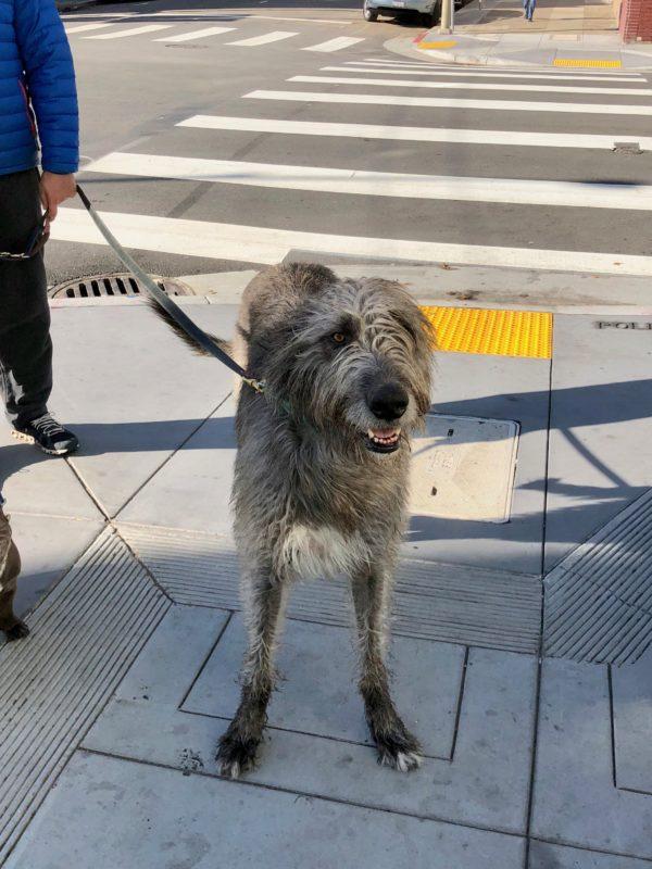 Grinning Irish Wolfhound