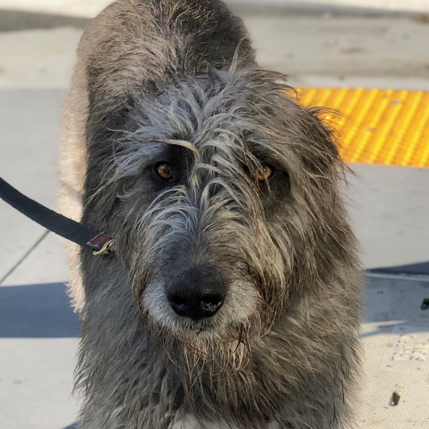 Soulful-Looking Irish Wolfhound