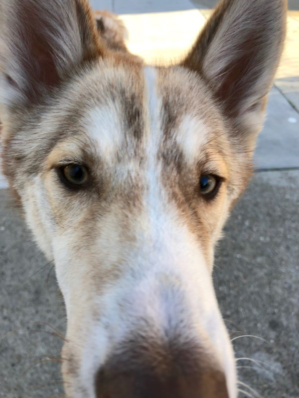 Red Siberian Husky Mix Sticking His Nose In The Camera
