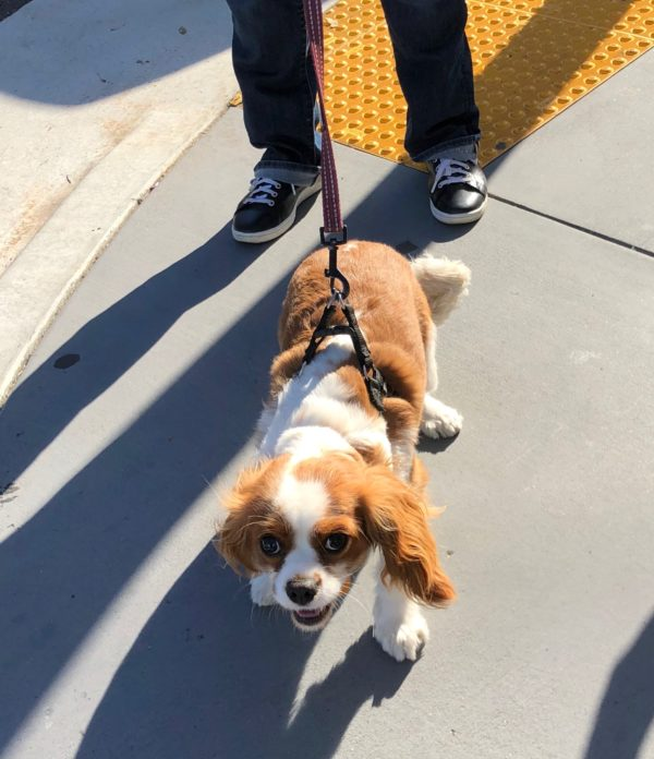 Cavalier King Charles Spaniel Grinning Up Into The Camera