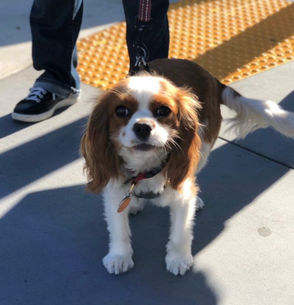 Cavalier King Charles Spaniel Looking At The Camera