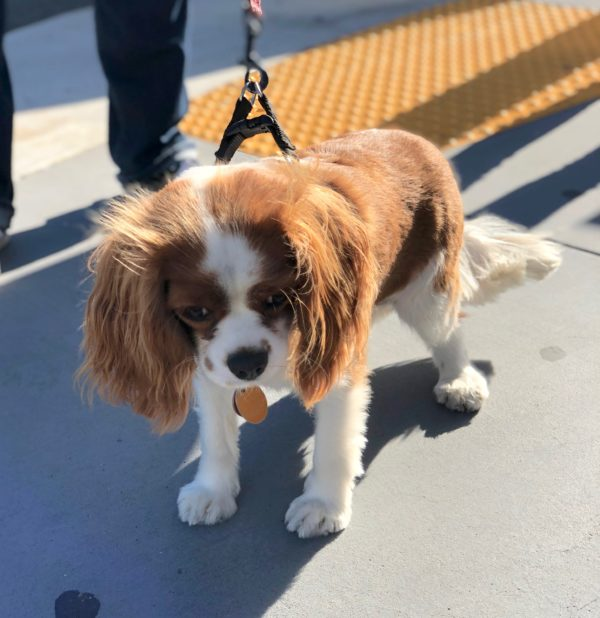 Cavalier King Charles Spaniel Looking Downcast