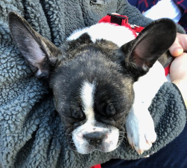 French Bulldog Puppy Sleeping In Man's Arms