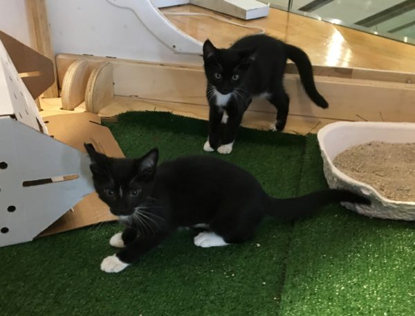 Two Tuxedo Kittens Guarding A Cardboard Box