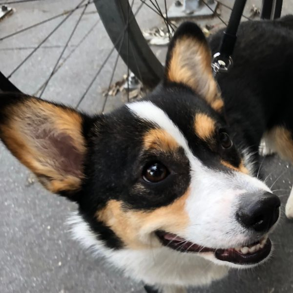 Tricolor Pembroke Welsh Corgi With Brown Ears With Black Rims