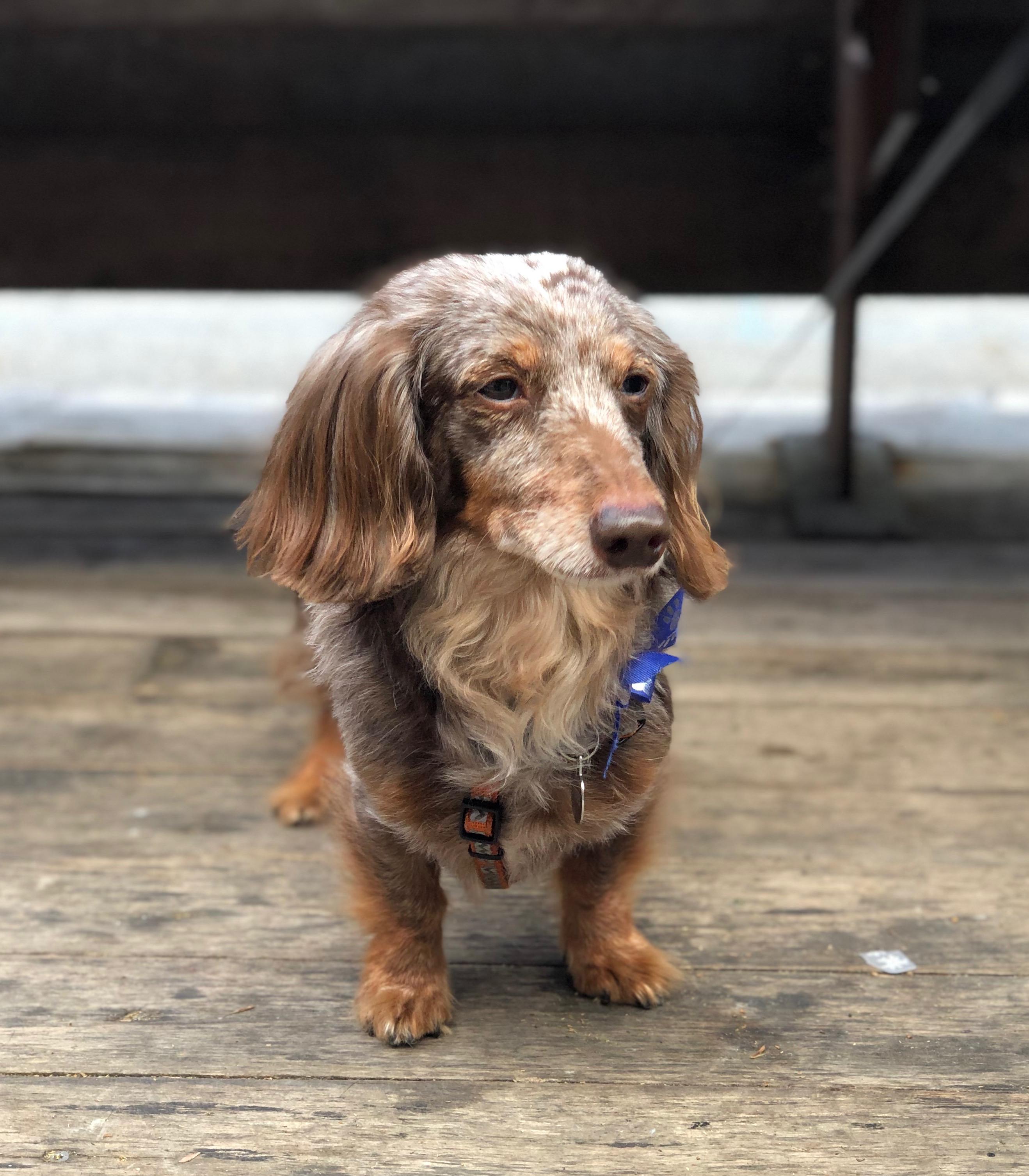 Piebald Miniature Long-Haired Dachshund