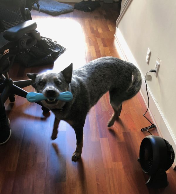 Blue Merle Australian Cattle Dog With A Tail