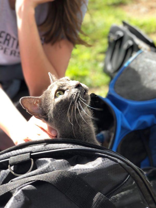 Grey Cat In Bag Looking At Sky