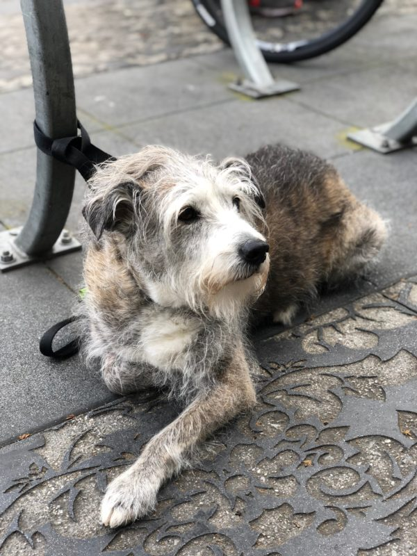 Old Scruffy Dog Lying Patiently On The Sidewalk