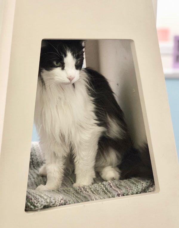 Long-Haired Tuxedo Cat