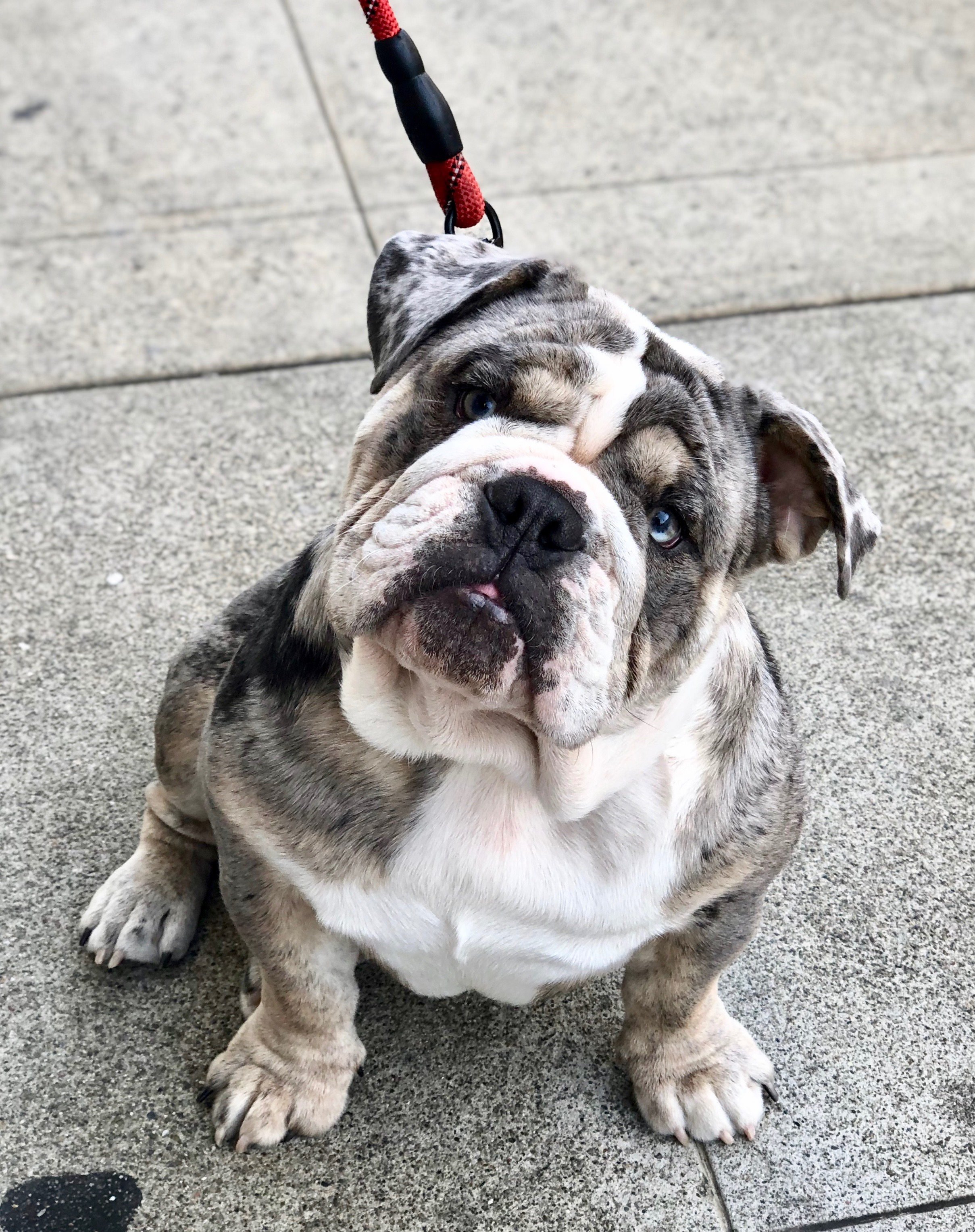 Blue Merle English Bulldog Puppy