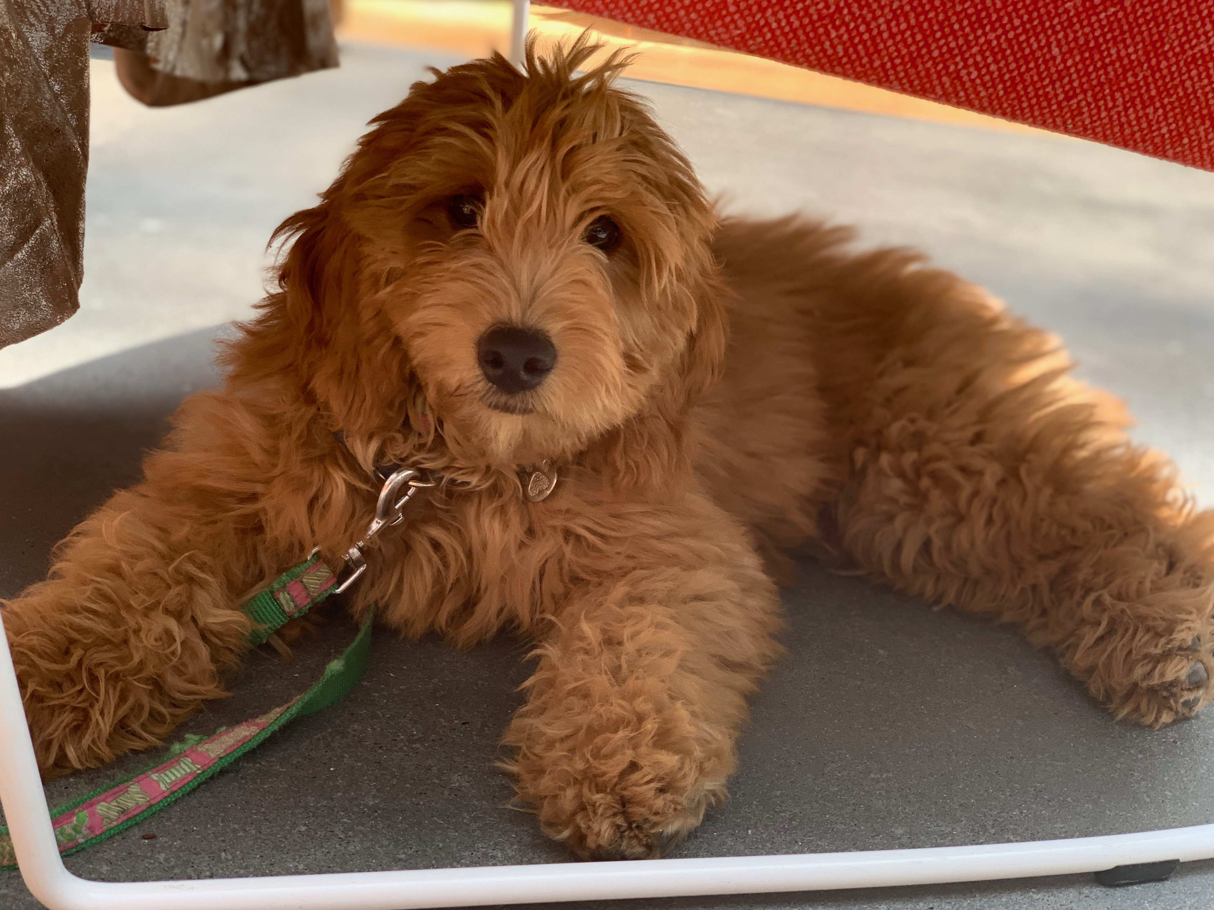 Goldendoodle Puppy Under A Table