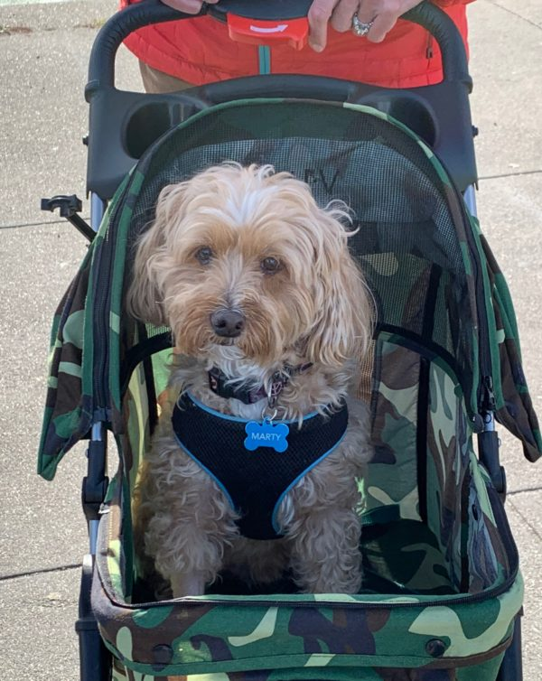 Yorkshire Terrier Poodle Mix In Baby Carriage