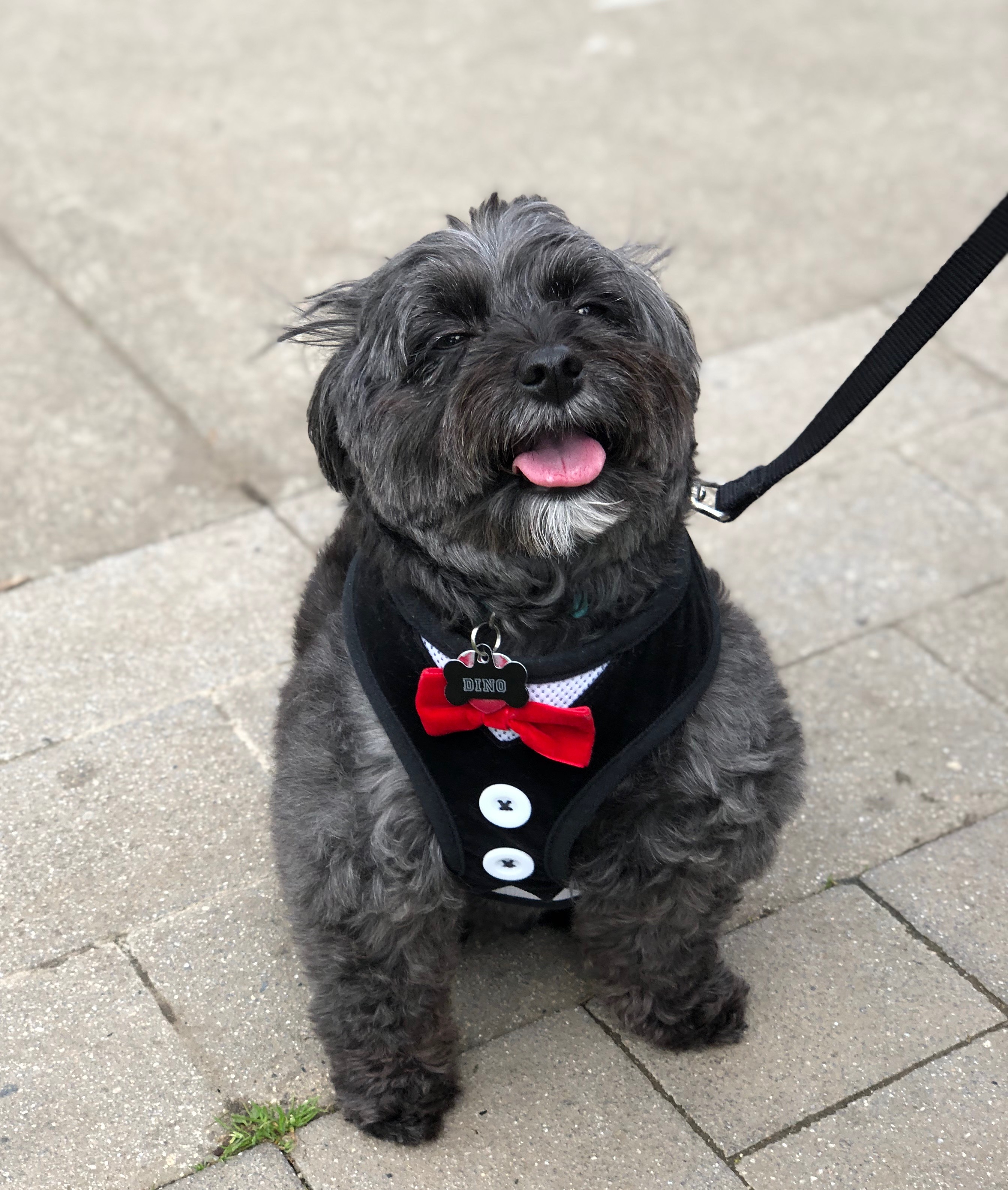 Happy Little Grey Dog Wearing A Tuxedo Halter And Bow Tie