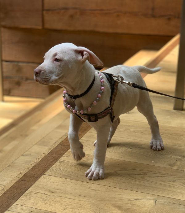 White American Pit Bull Terrier Puppy Wearing Beads