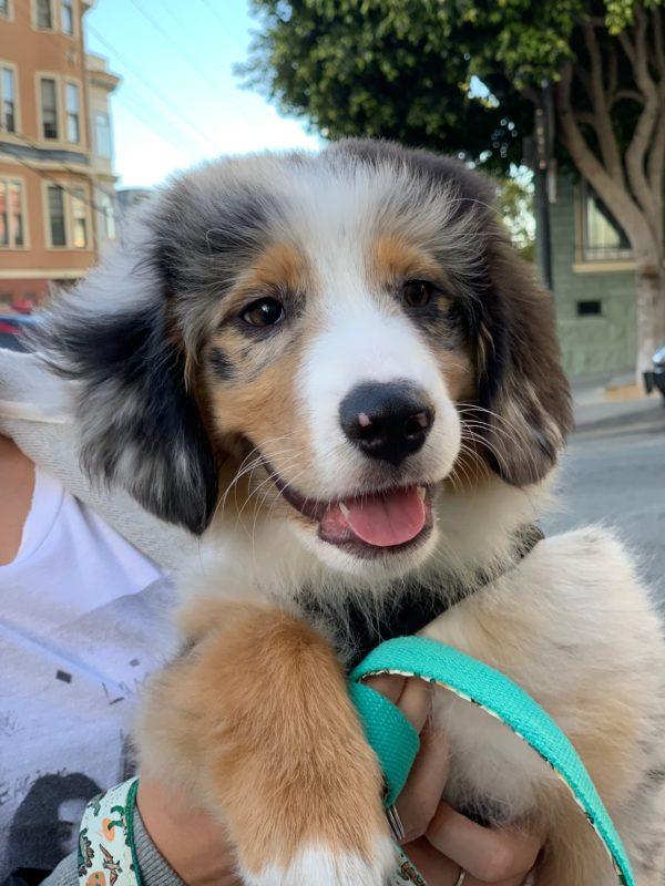 Adorable Fluffy Australian Shepherd Puppy