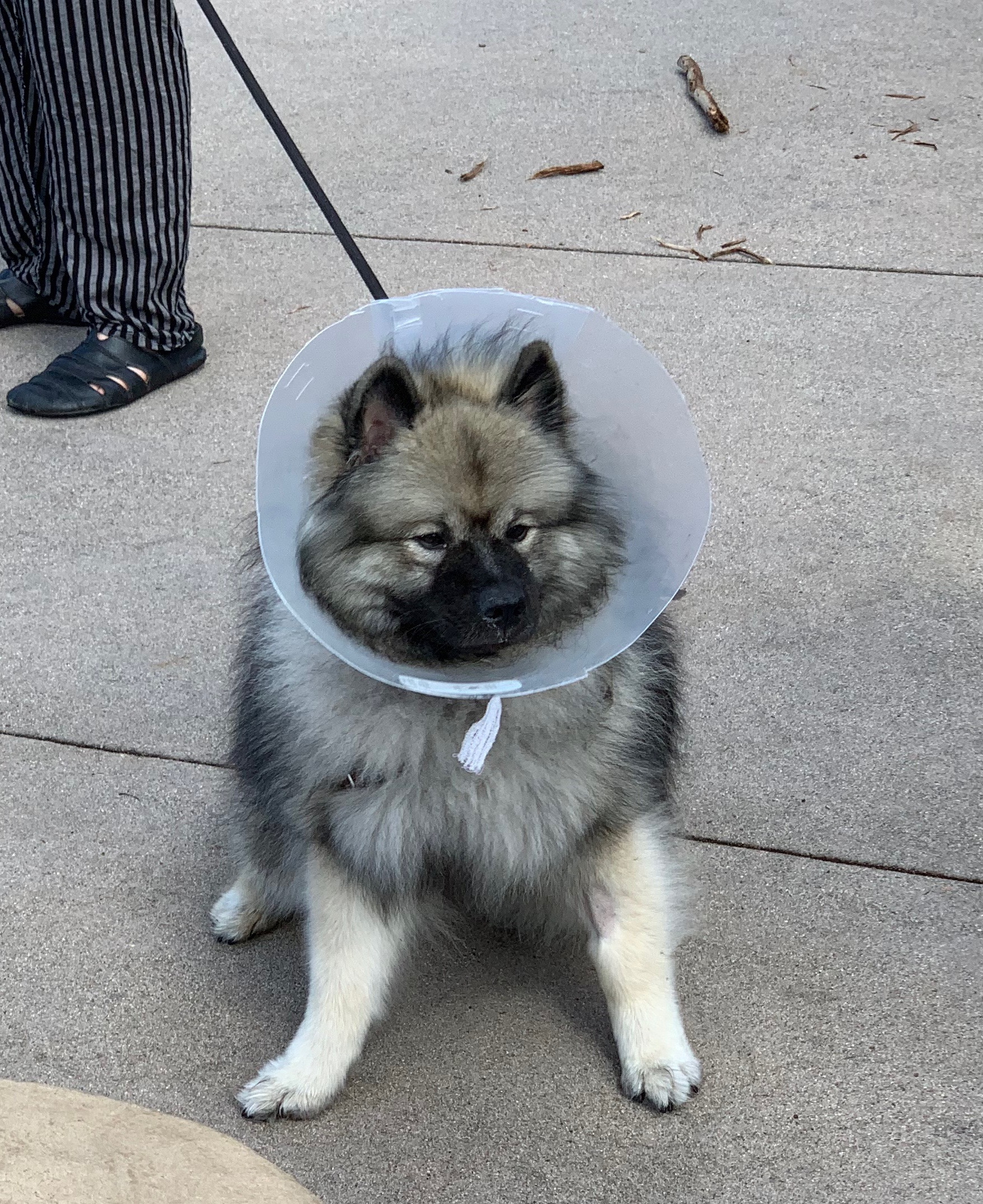 Keeshond In A Code Of Shame