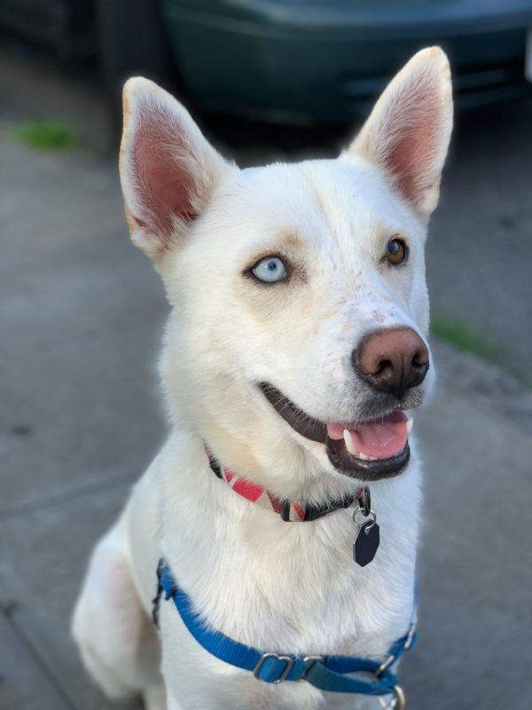 White Siberian Husky Mix