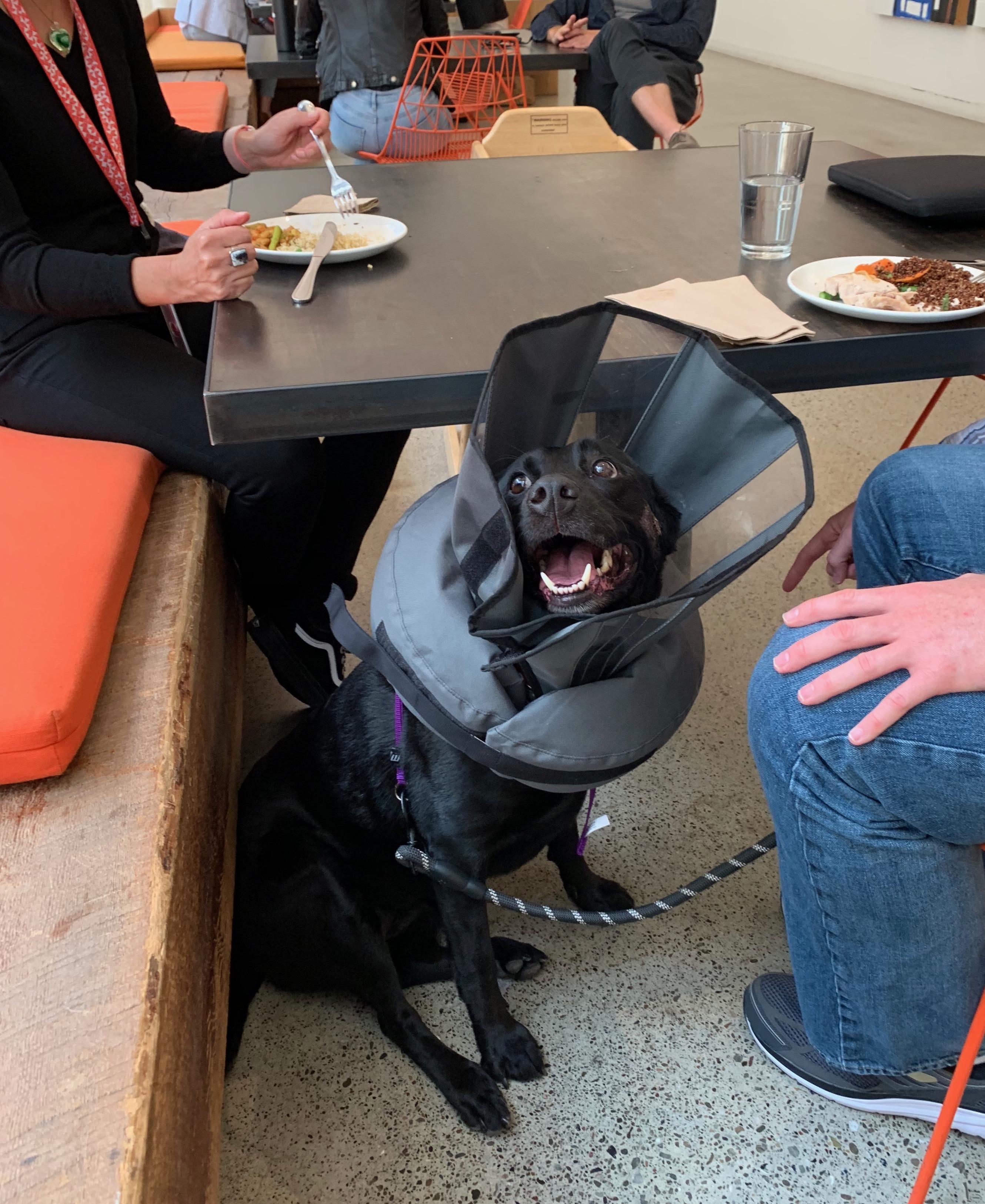 Black Labrador Retriever Looking Sad And Wearing A Ridiculous Cone