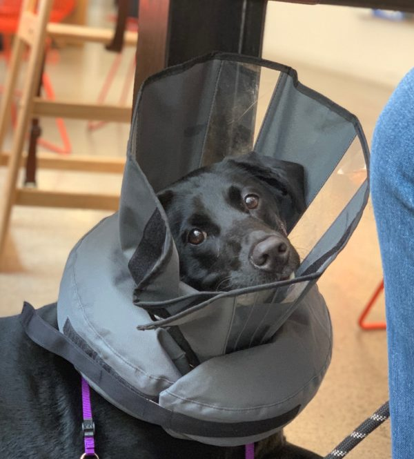 Black Labrador Retriever Looking Sad And Wearing A Ridiculous Cone