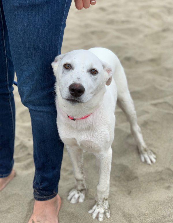 White Labrador Retriever Mix