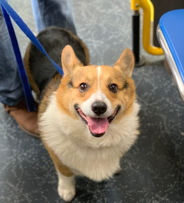 Delighted Pembroke Welsh Corgi