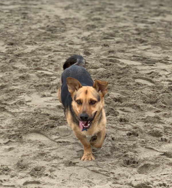 German Shepherd Corgi Mix Running On The Beach
