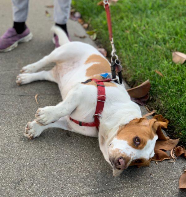 Basset Hound Lying Down