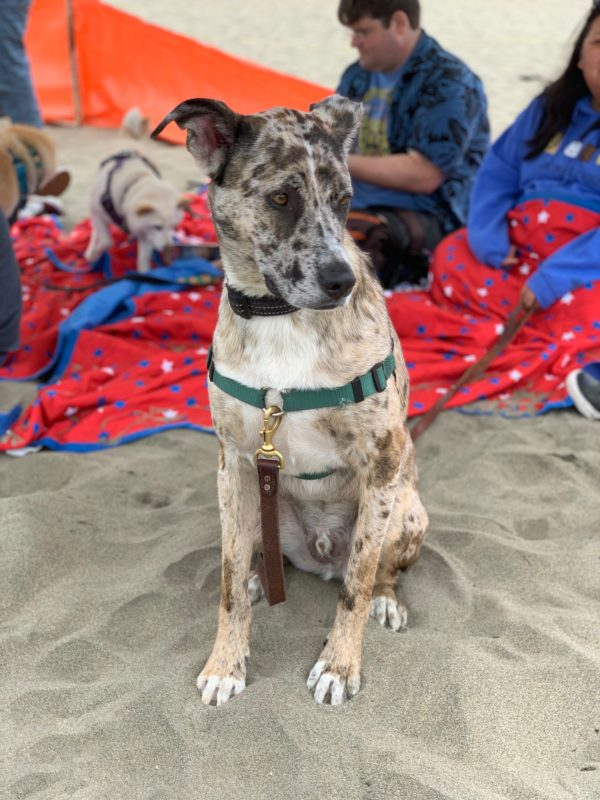 Catahoula Leopard Dog Mix Looking Dubious