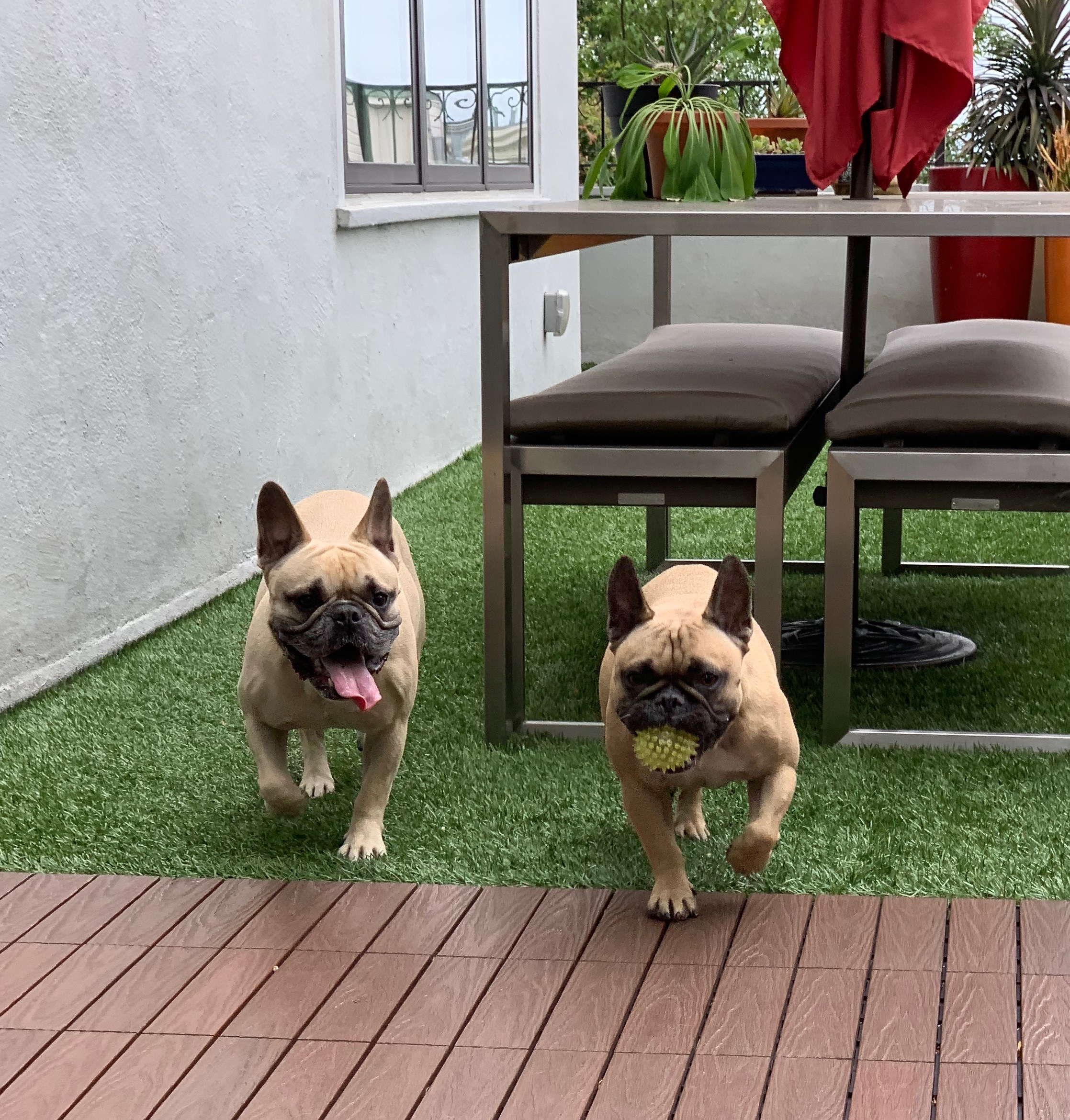 Two French Bulldogs Playing Fetch