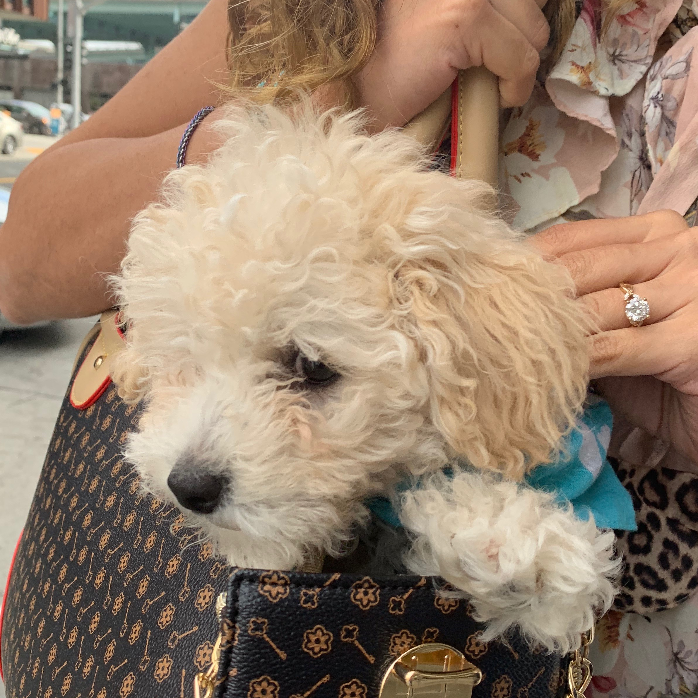 Cocker Spaniel Poodle Mix Puppy In Bag