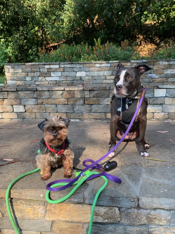 Yorkshire Terrier And American Pit Bull Terrier