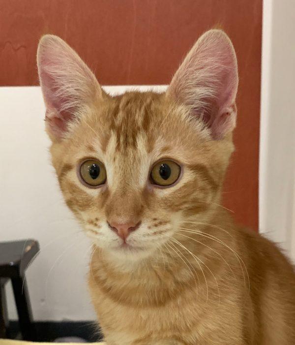 Marmalade Tiger Tabby Kitten