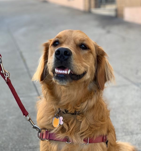 Grinning Golden Retriever