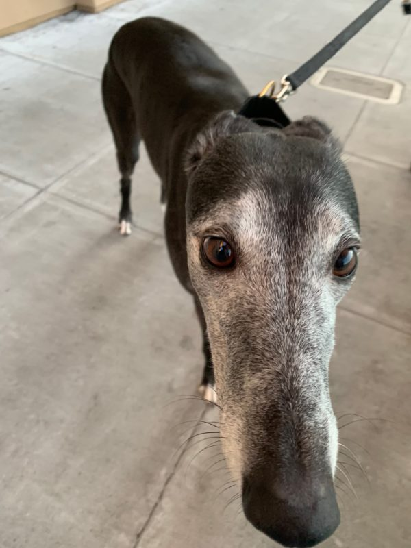 Greyhound Poking Her Nose Into The Camera
