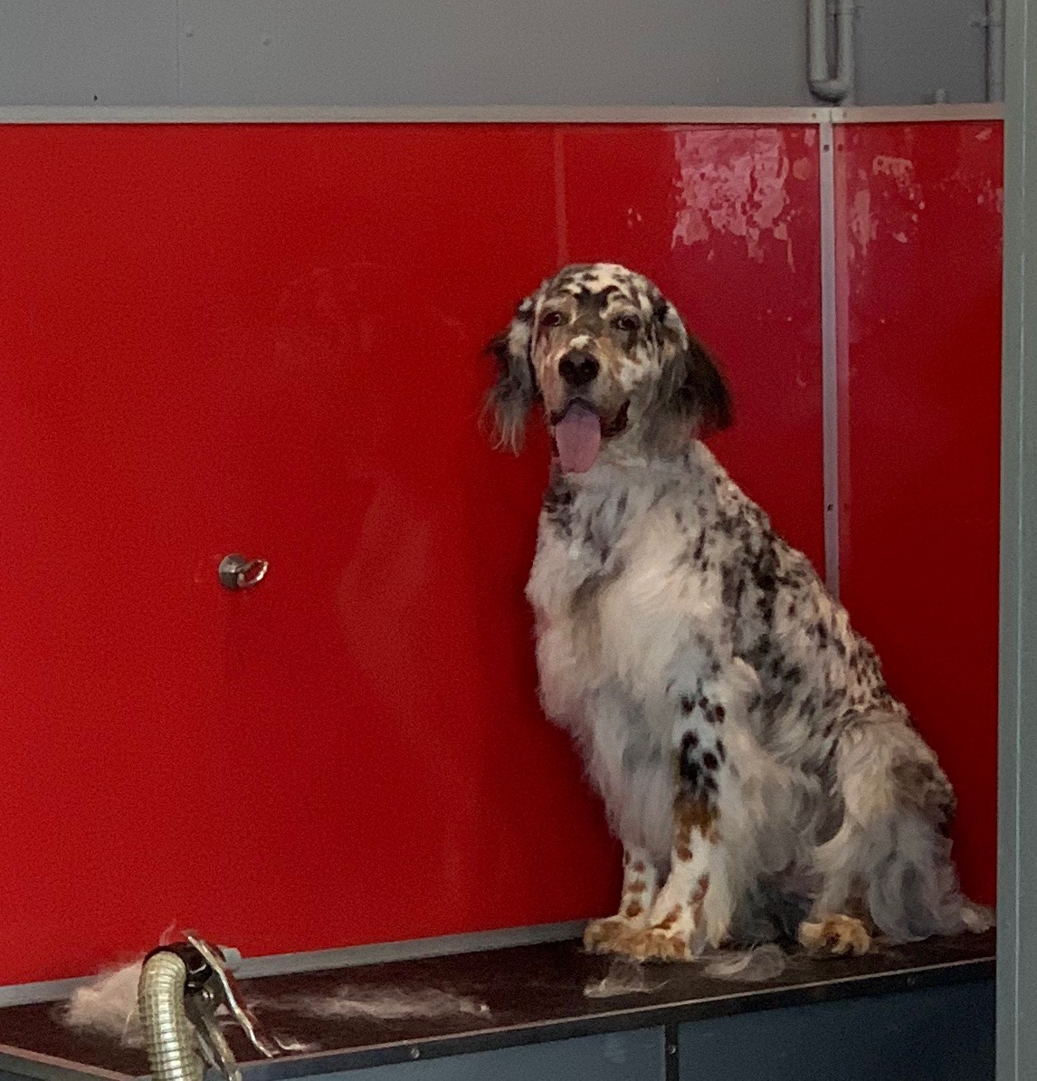 English Setter On Grooming Bench