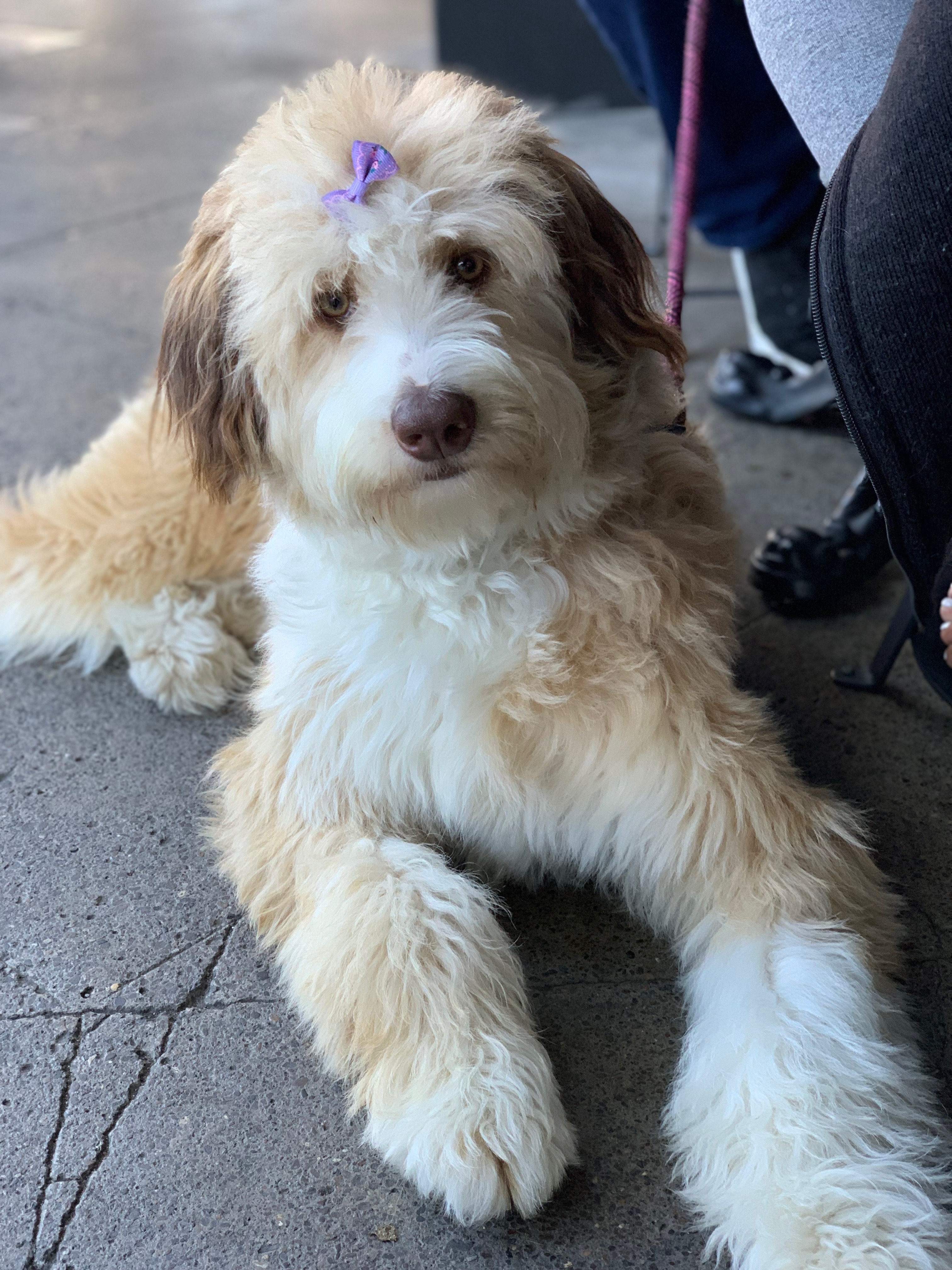 Bernese Mountain Dog Poodle Mix With A Little Bow In Her Hair