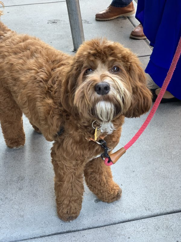 Australian Labradoodle With A Goatee