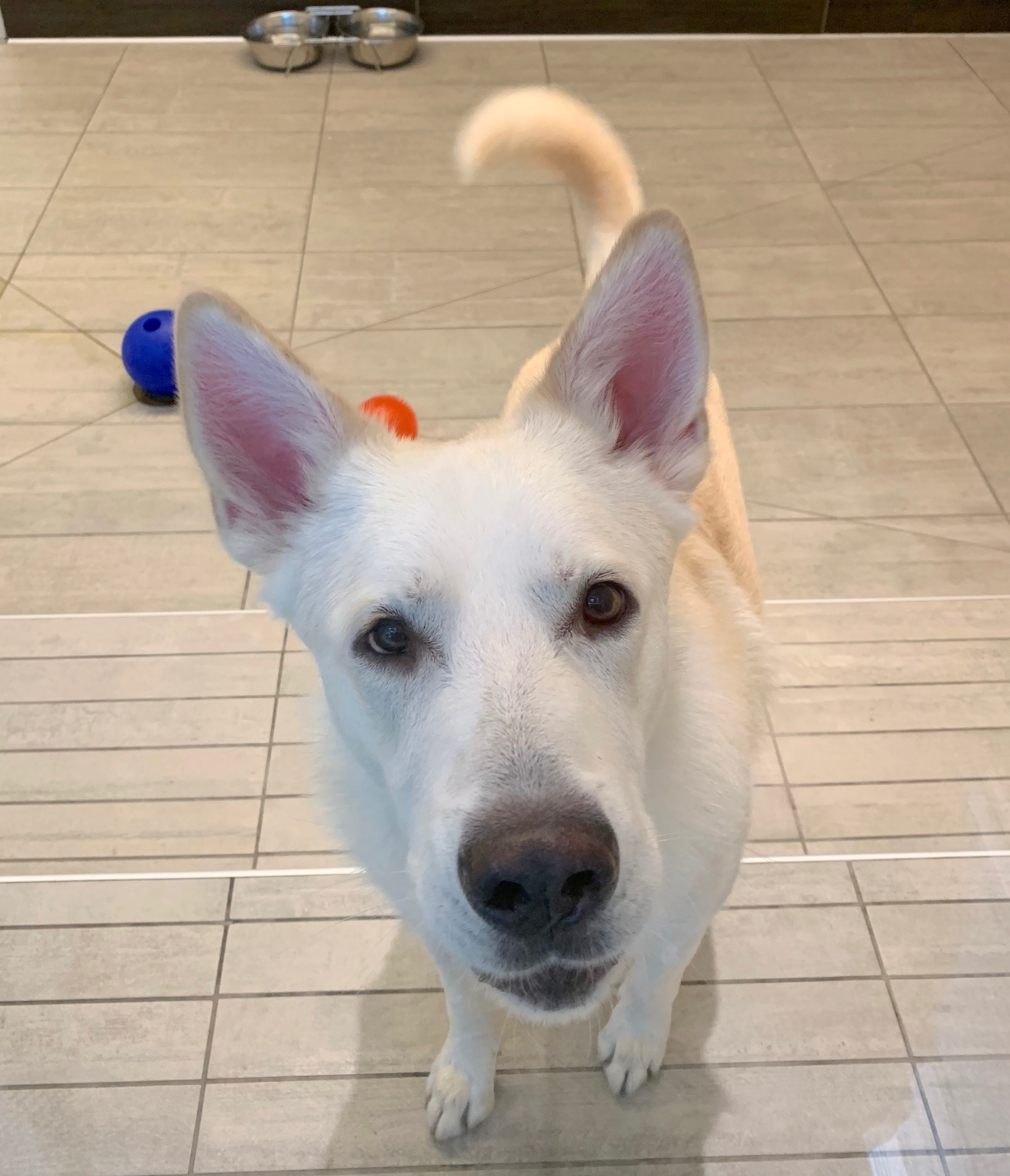 White Shepherd Mix Looking Into Camera