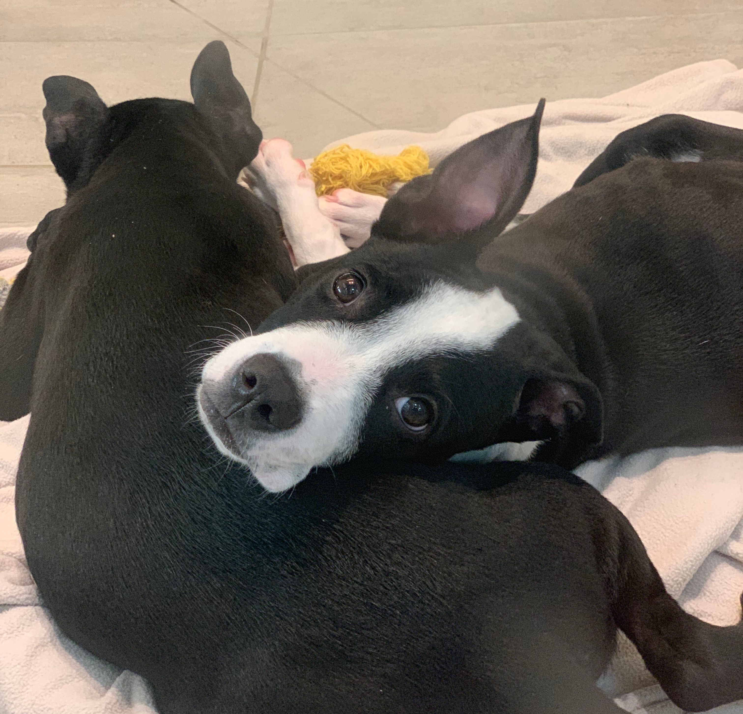French Bulldog Mix Puppy Lying With His Head On His Brother's Butt