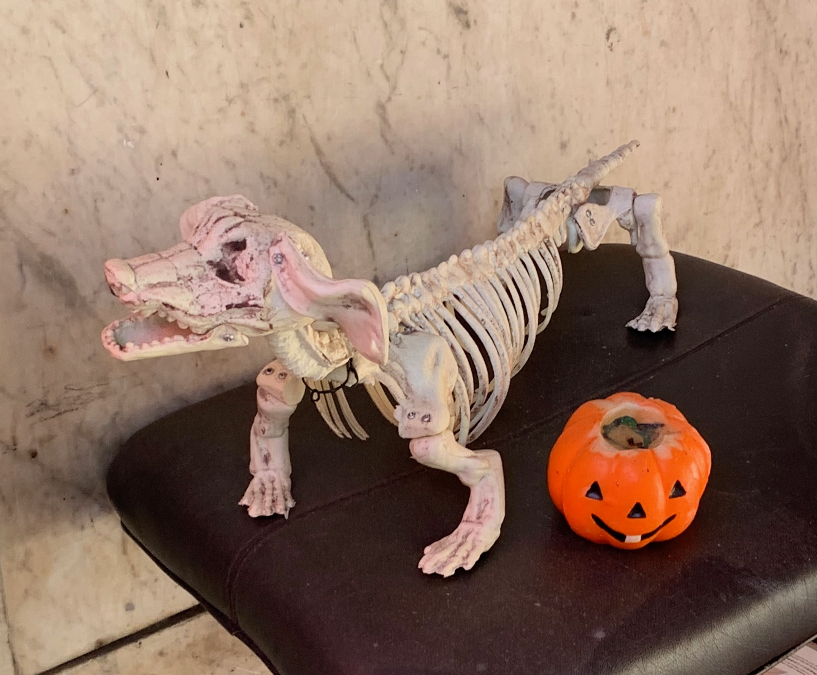 Fake Dachshund Skeleton For Halloween