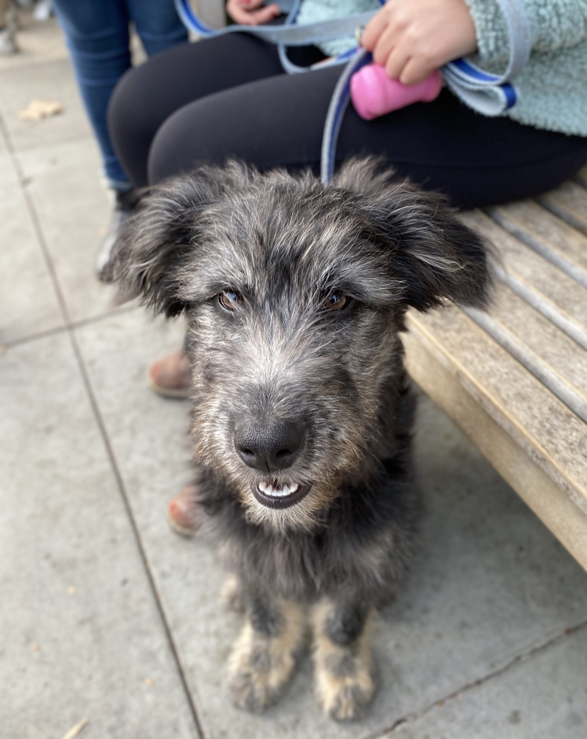 Scruffy-Looking Grey Shepherd Mix